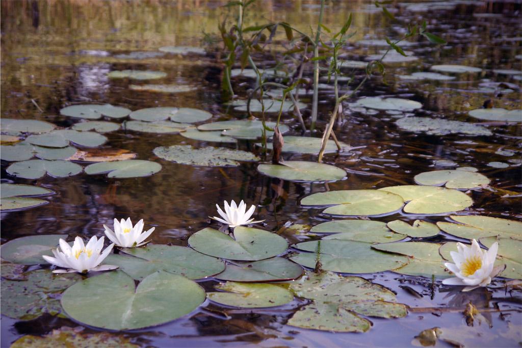 Sirenen und Heuler Reiseblog für nachhaltiges Reisen: Seerosen