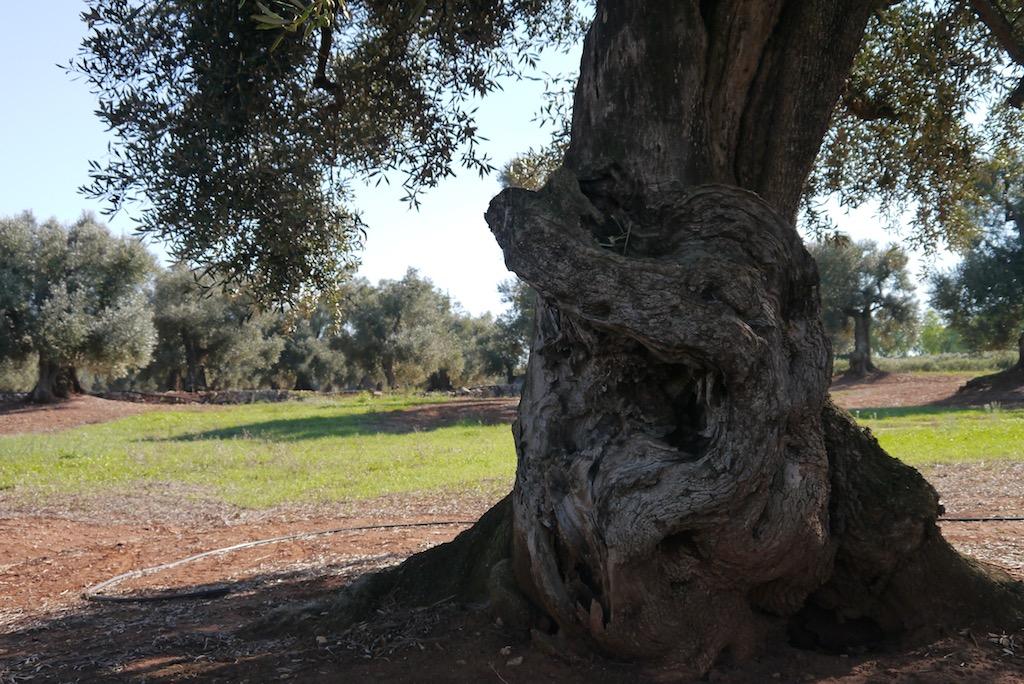 Ölbaum in Apulien