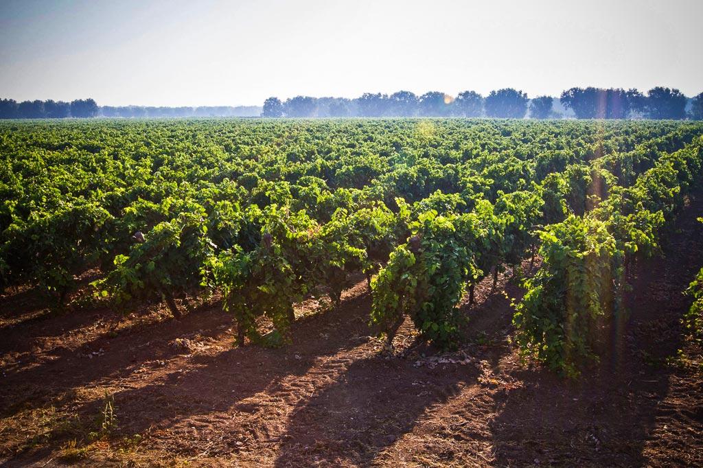 Ein Weinberg in Apulien