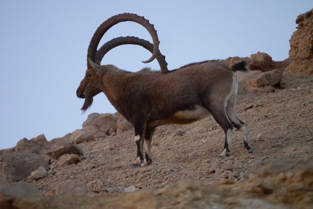 Numidischer Steinbock aus der Negev Wüste