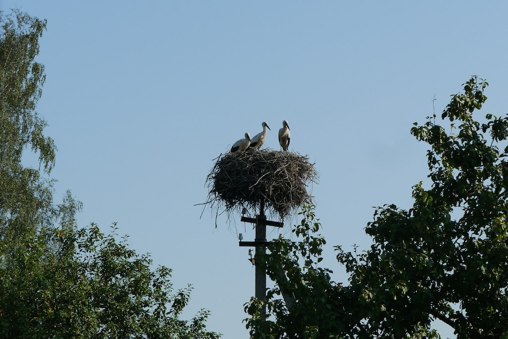 Storchen Familie im Nest in Lettland