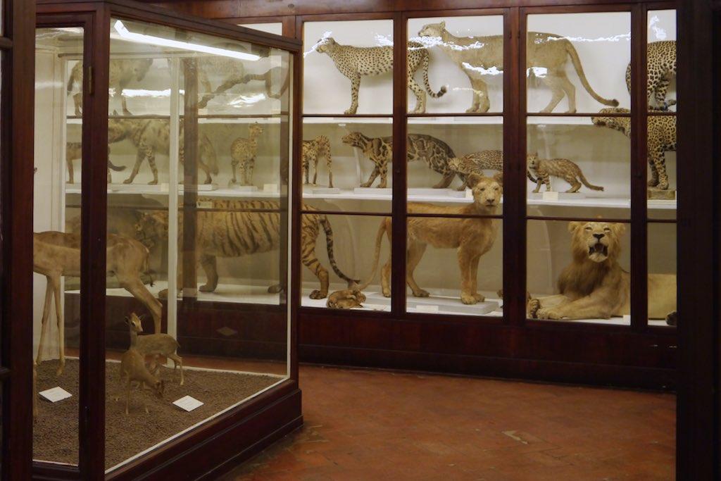 Das Naturkunde La Specola in Florenz.Vitrine mit einer ausgestopften Raubtier-Menagerie