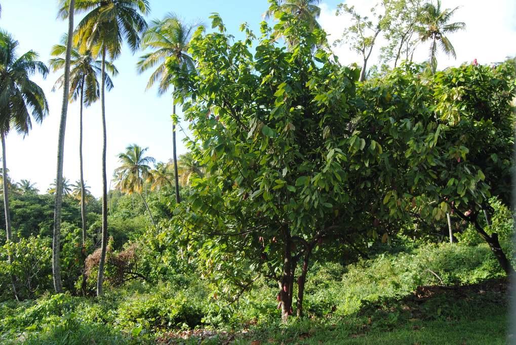 Auf St. Lucia wächst unweit der Schwefelquellen von Soufrière alles für meinen Lieblingssalat, u.a. Cashewnüsse, Mangobäume. Lecker.