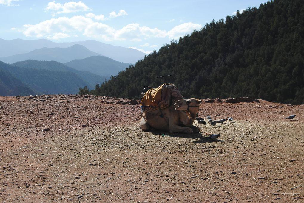 marokko-atlas-gebirge-dromedar