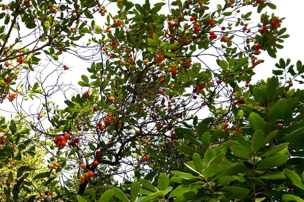 Blick in die Krone eines Erdbeerbaums. Zwischen den Blättern hängen die roten beerenartigen Früchte