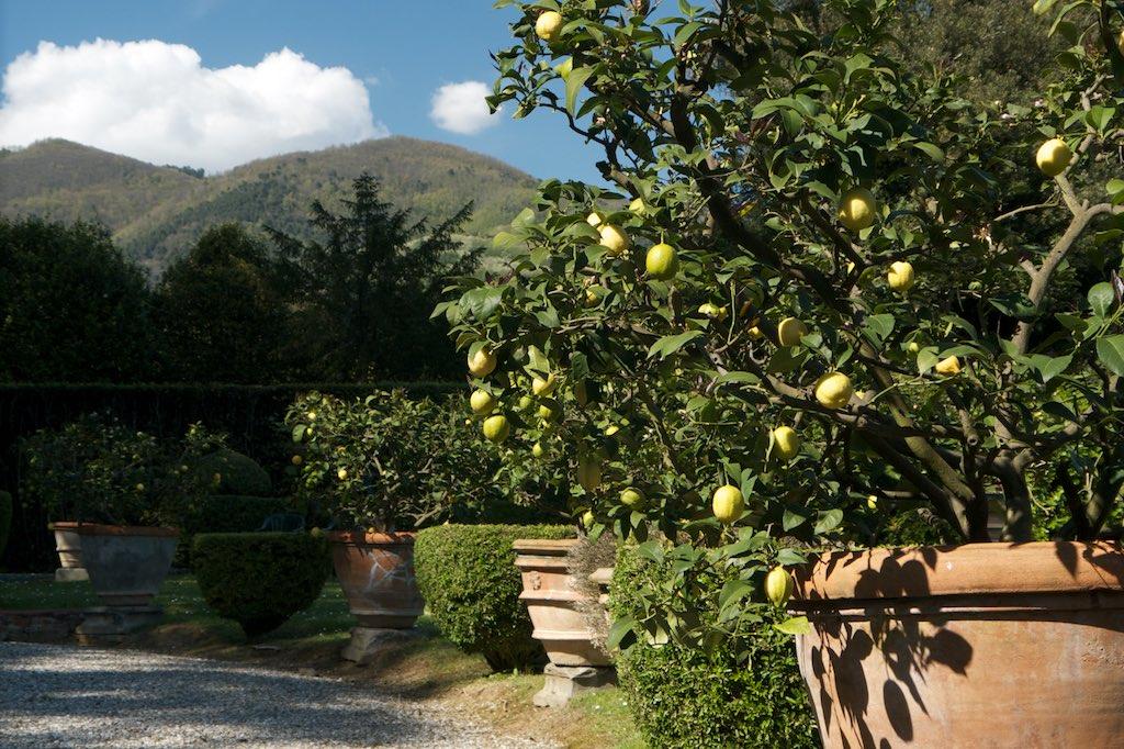 In den Gärten von Lucca wachsen die Zitronen prächtig. Bei einem längeren Aufenthalt könntest Du dir zum Beispiel die Gärten der Villa von Collodi