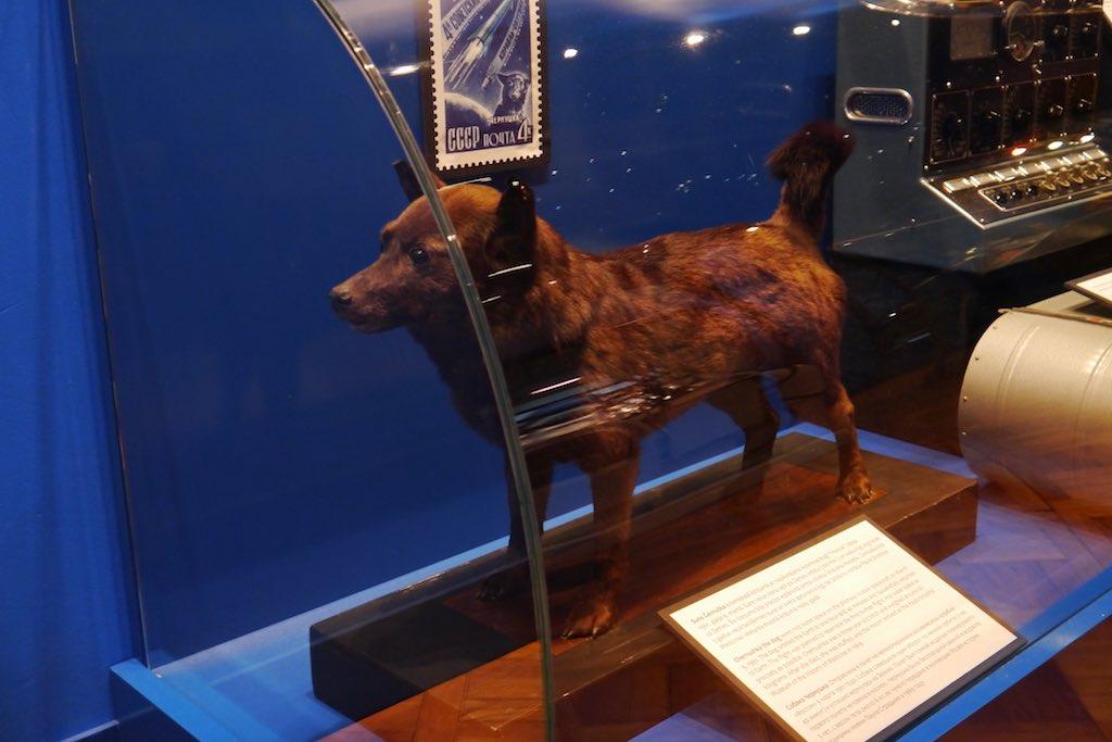 Laika, der erste Hund im All. Heute Ausgestopft im Hygien Museum in Riga
