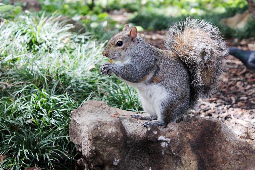 Mother City: Eichhörnchen fühlen sich im Kompaniegarten pudelwohl – und entzücken vor allem Besucher von außerhalb.