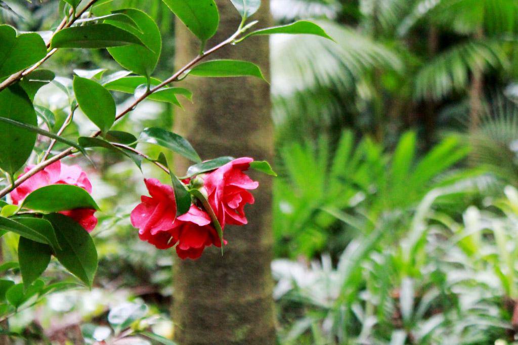 Garten Eden: Königin des azorianischen Winters: Die Kamelie kommt in allen Farbschattierungen vor.