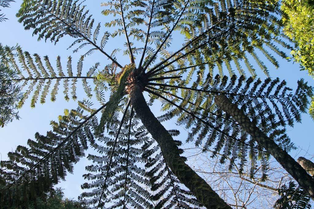 Azoren Paradies: Bis zur Spitze dieses Baumfarns sind es gut und gerne drei Meter. Und das ist nicht mal das größte Exemplar.