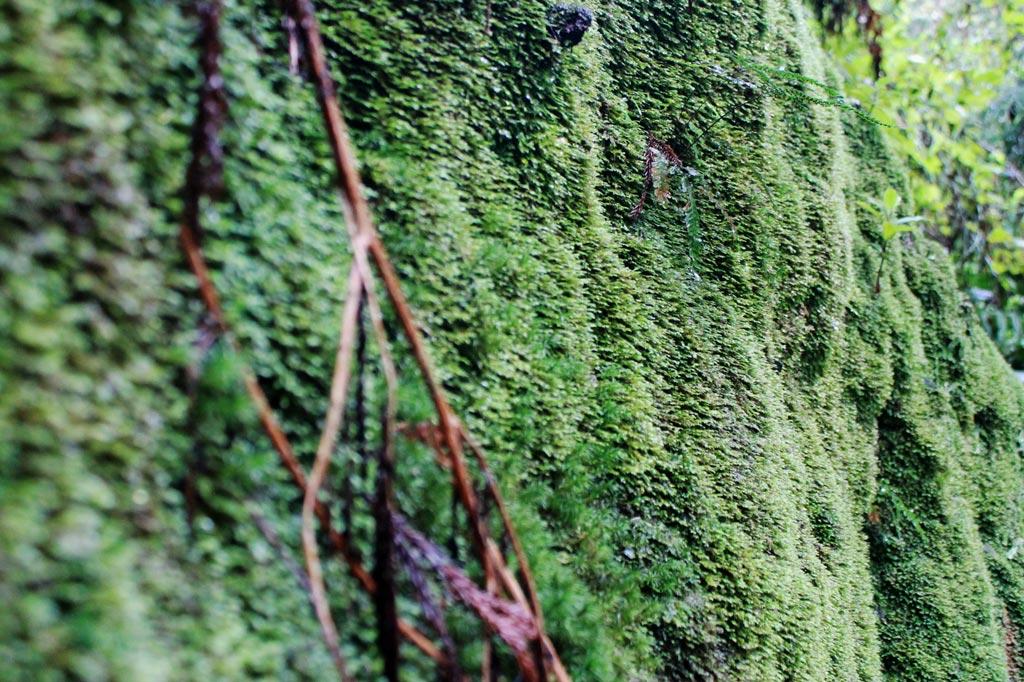 Azoren Paradies: Nackte Felsen? Hier nicht! Stattdessen üppige grüne Moosmäntel, wohin wir blicken.