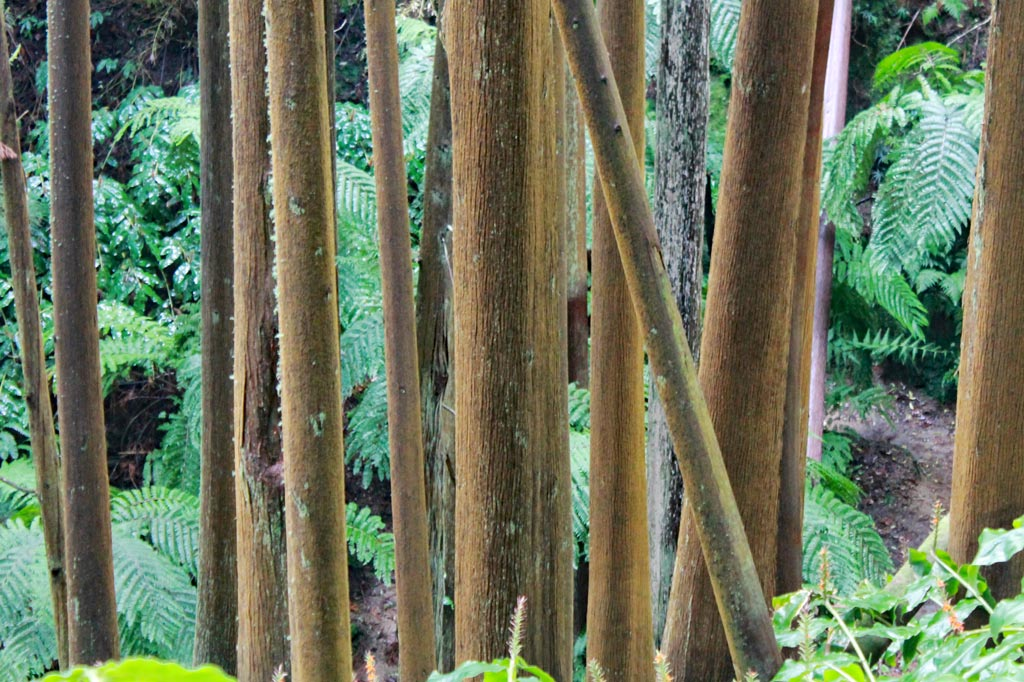 Azoren Paradies: Wie fotografiert man so einen Wald? Diese Stämme sehen aus wie ein Mikadospiel.