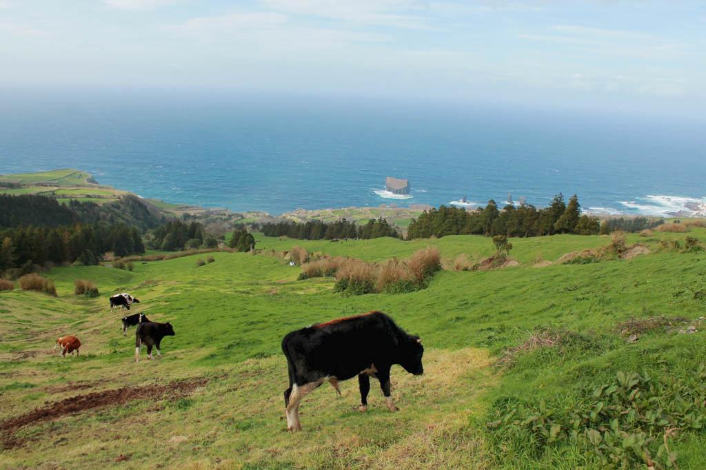 Uns kommt es vor, als seien die Kühe hier auf den Azoren glücklicher als anderswo.