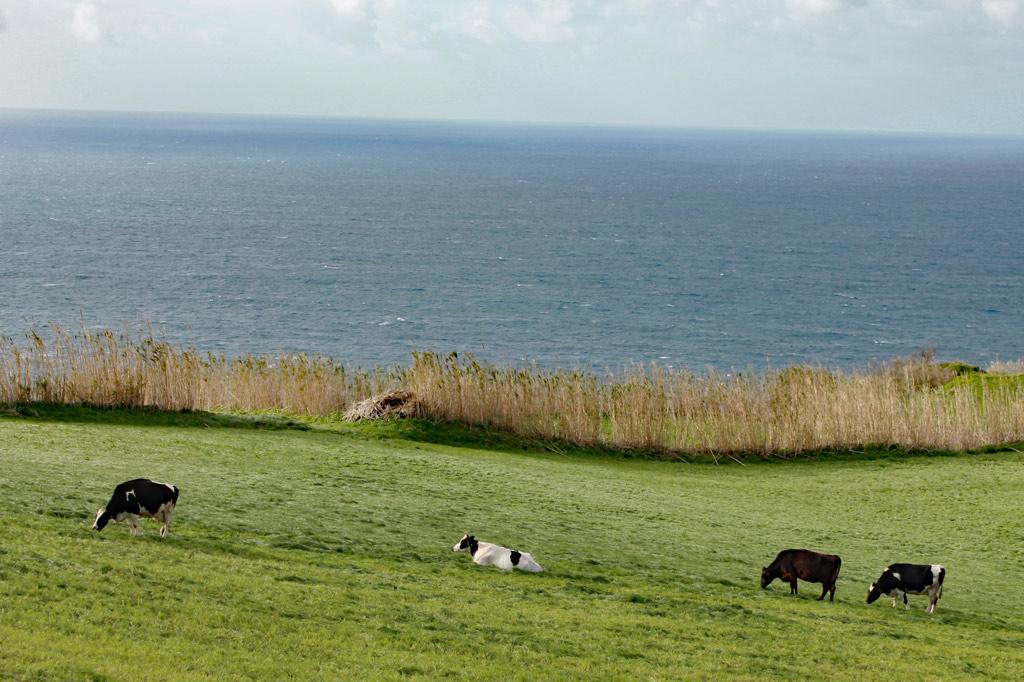Delikatessen: Manche glauben, glückliche Kühe seien eine schweizerische Erfindung. Tatsächlich ist diese Spezies auf den Azoren zuhause.