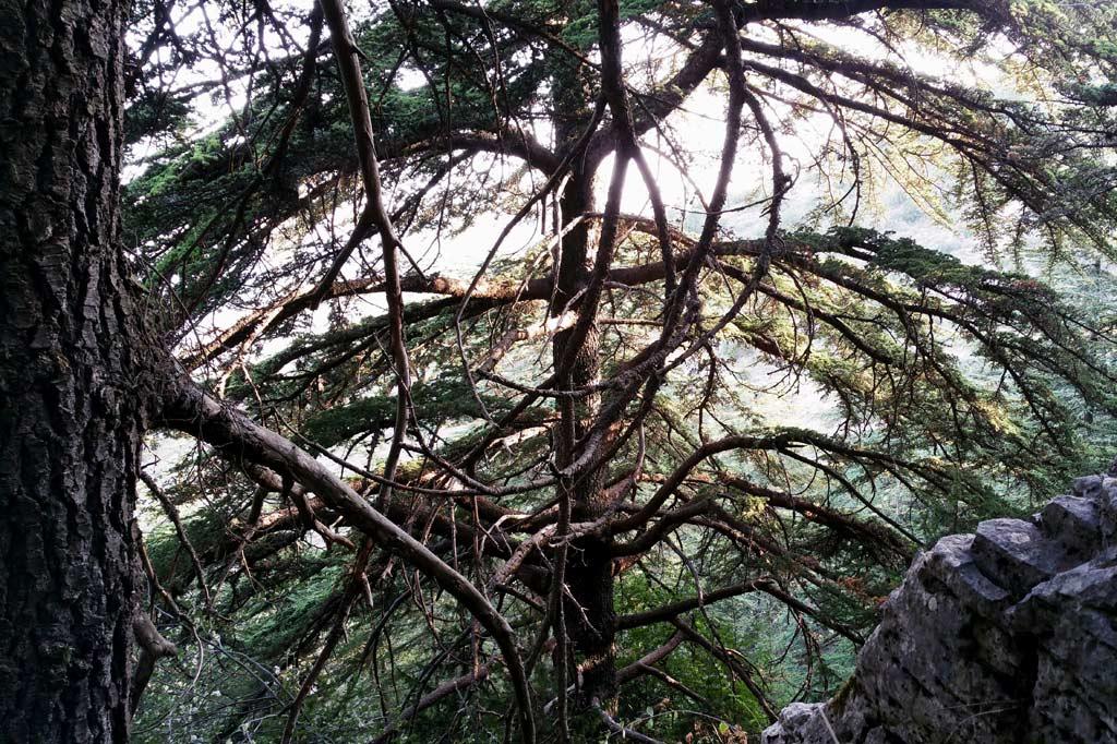 Libanon-Gebirge: Zwei Zedern mit weit ausladenden Ästen an einem steilen Hang