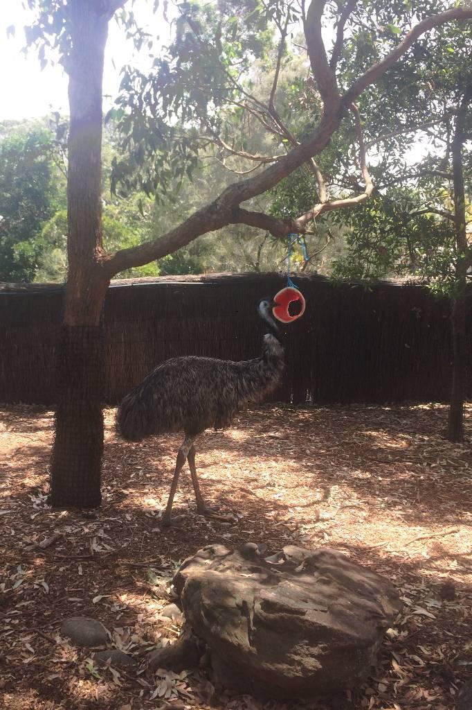 Ein Emu in einem Gehege.