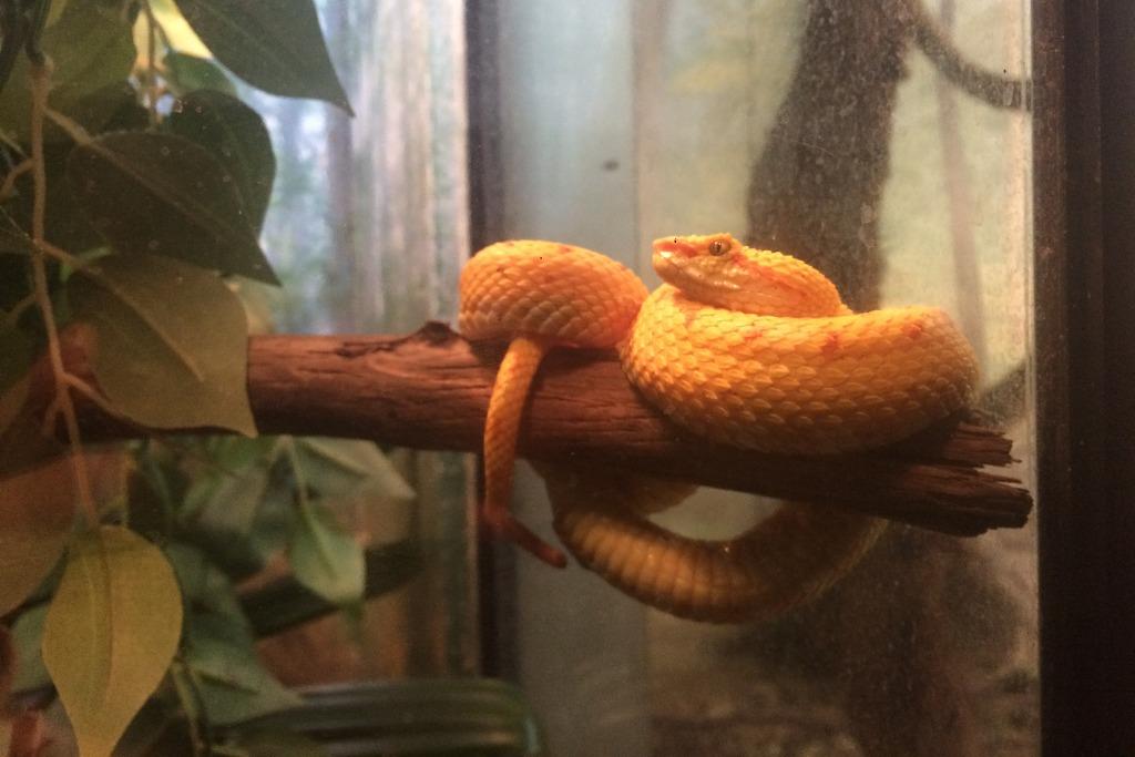 Gelbe Viper auf einem Ast.