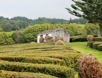 Zum Tee auf die Azoren-Inseln
