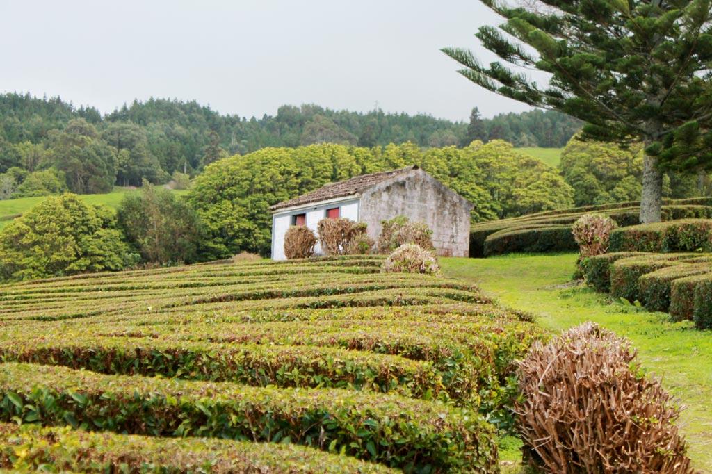 Zum Tee auf die Azoren-Inseln: Europas einzige Teeplantagen wachsen auf den Azoren