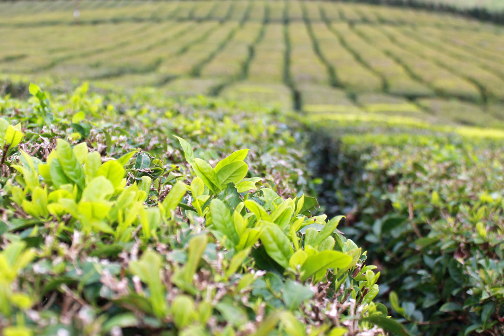 Zum Tee auf die Azoren-Inseln: Teesträucher mit hellgrünen, jungen Trieben. Die Teeplantagen werden das Jahr über auf diese Triebe getrimmt – nur sie werden geerntet.