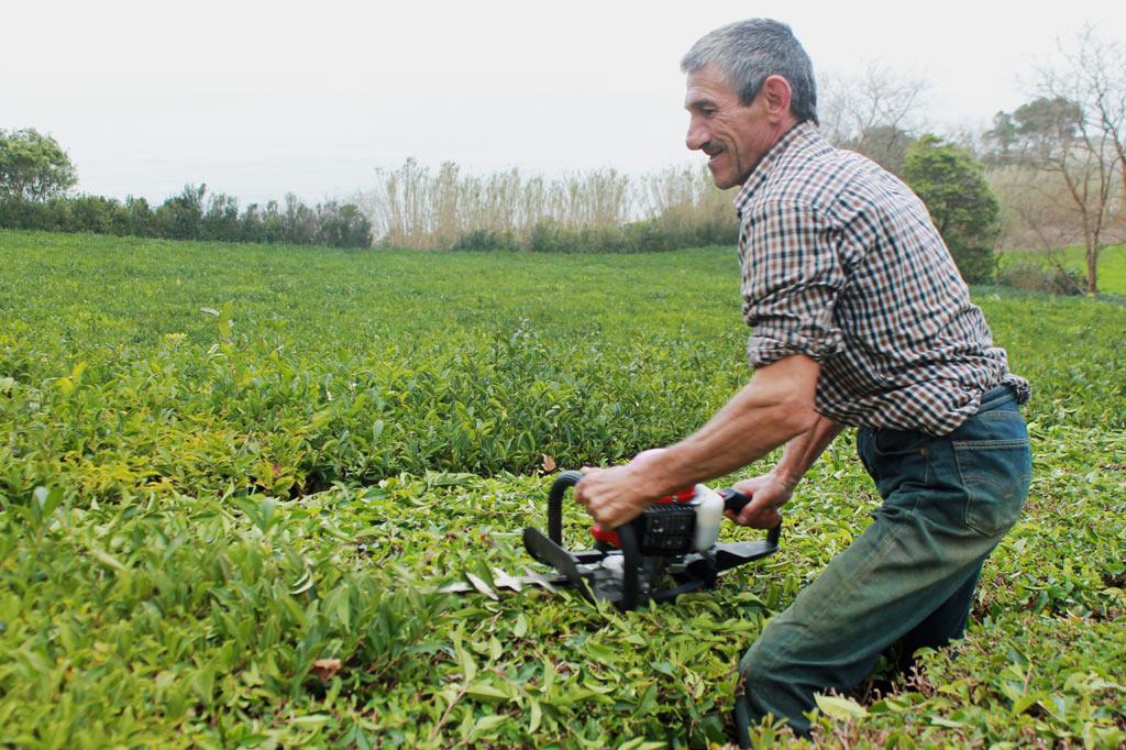 Zum Tee auf die Azoren-Inseln: Ein Arbeiter beschneidet mit einer automatischen Heckenschere die Sträucher der Teeplantagen – wenn es sein muss, auch bei Wind und Wetter.