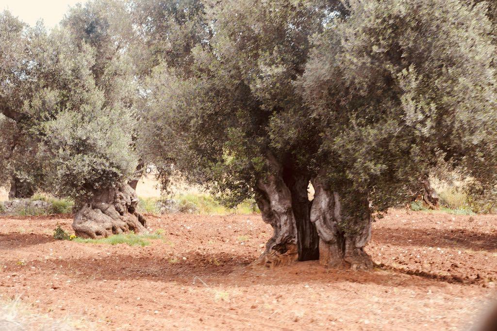 Das Bild zeigt einen Olivenhain in Apulien. Uralte Olivenbäume mit verschraubten Stämmen wachsen in einem Hain mit roter Erde. Die Stämme der Olivenbäume sind teilweise ausgehöhlt.