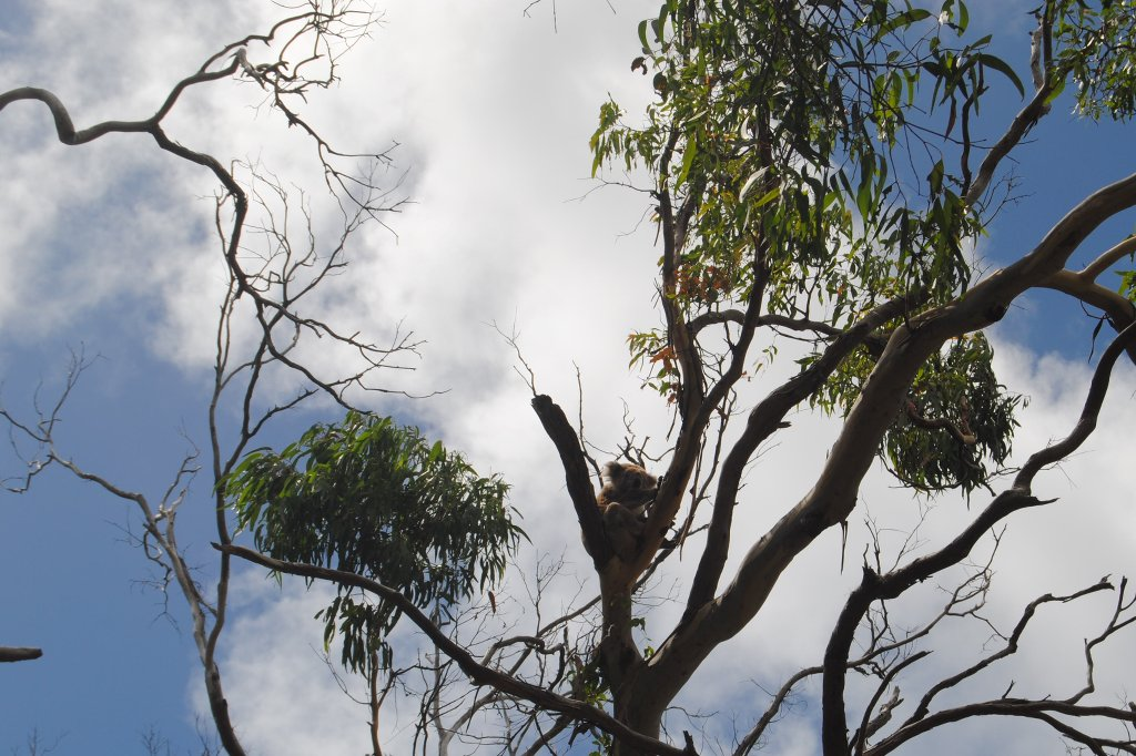 Koala Bär in einem Eukalyptus Baum.