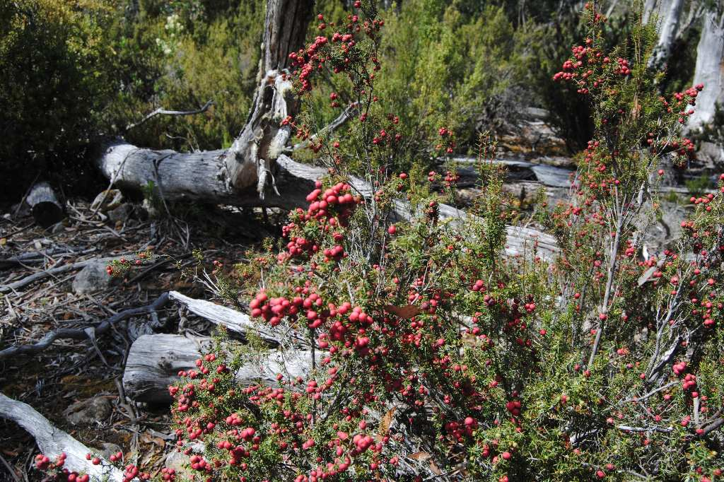tasmanien-pink-mountain-berry