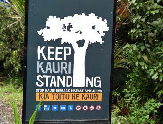 Vom Kauri-Baum Tāne Mahuta