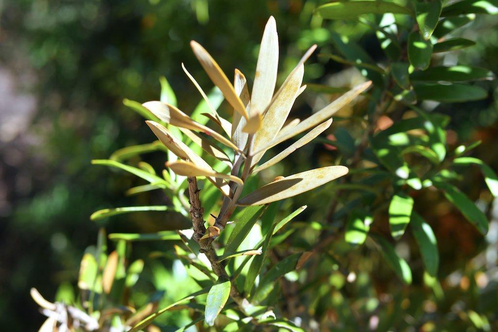 Nahaufnahme von Blättern des Kauri Baumes.