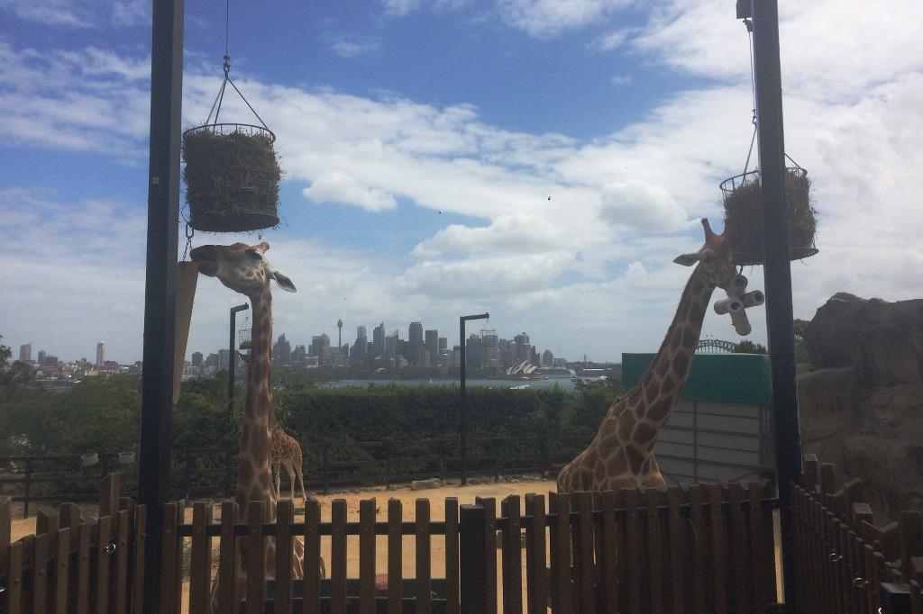 sydney-taronga-giraffen-vor-skyline