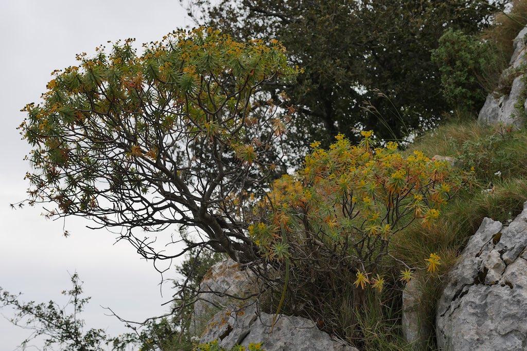 Wolfsmilch ein typisches Macchia Gewächs auf Capri.