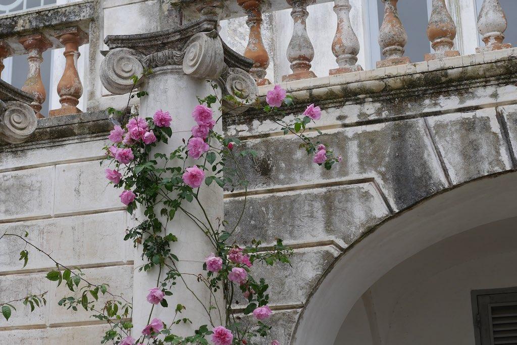 Ein Rosenstrauch vor der Villa Lysis in Capri.