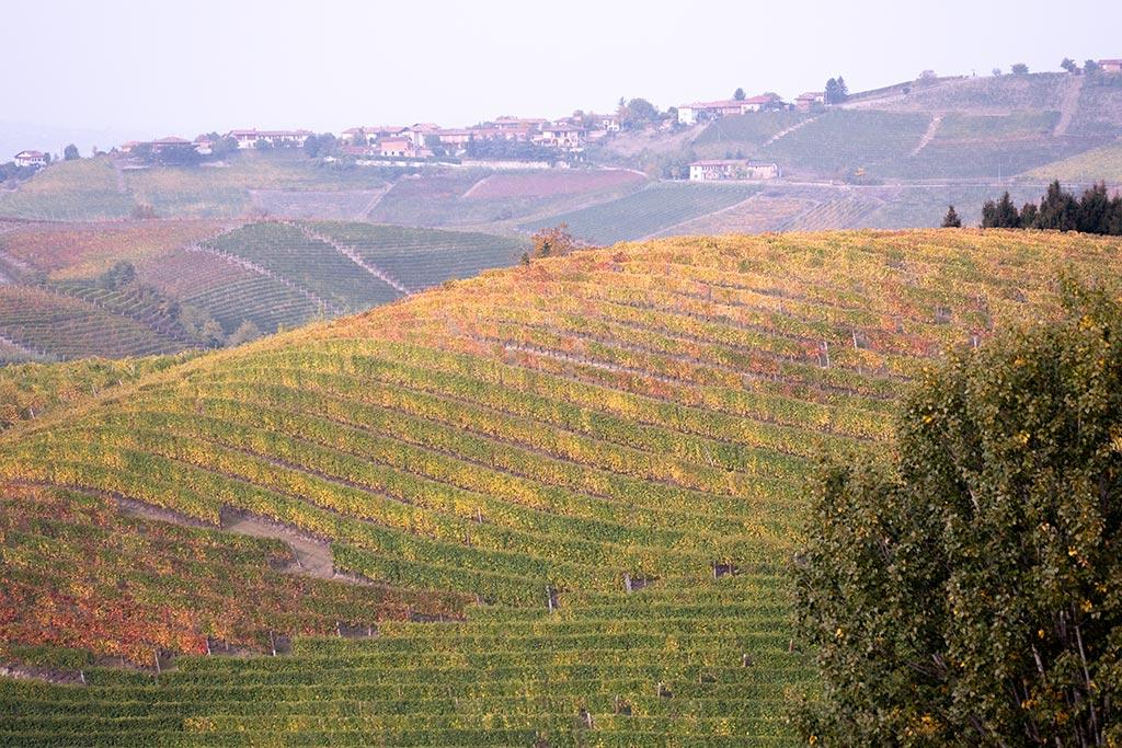 Weinstöcke, die im Spalier auf sanften Hügelrücken gepflanzt sind. Die Blätter haben sich schon herbstlich gefärbt.