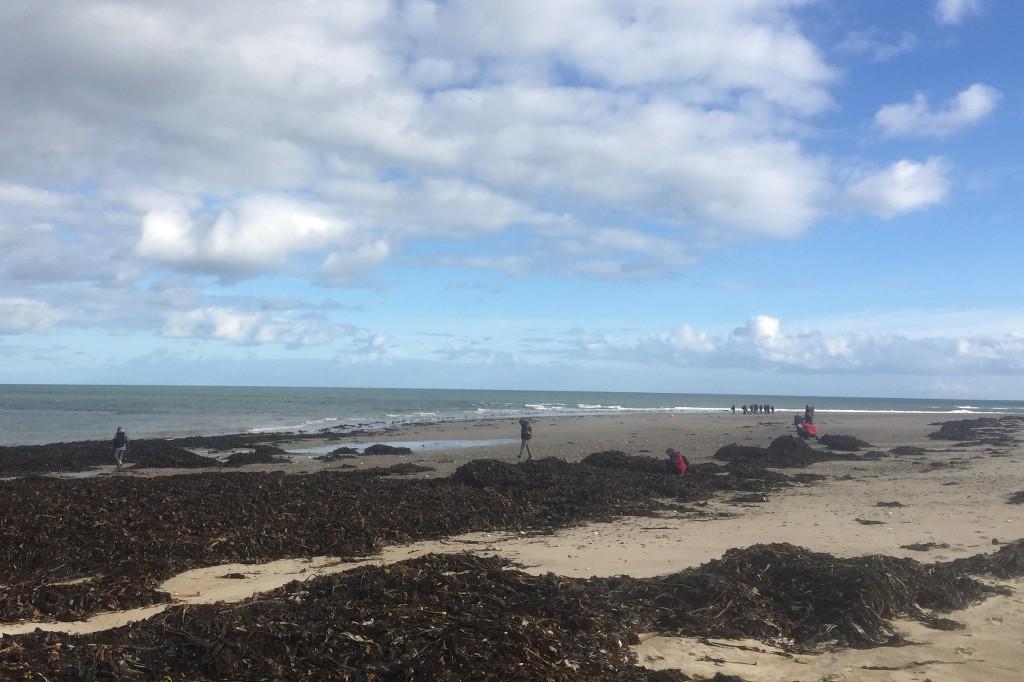 Angespülter Seetang am Nordstrand der Düne bei Helgoland. In ihm gehen Spaziergänger mit gesenktem Blick. Sie suchen den Boden nach seltenen Steinen und besonders schönen Muscheln ab.