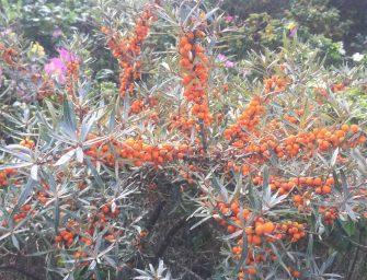 Düne mit Specktorpedos. Helgoland im Herbst