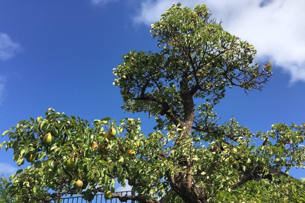 Ein Birnenbaum voller reifer Früchte vor blauem Himmel.