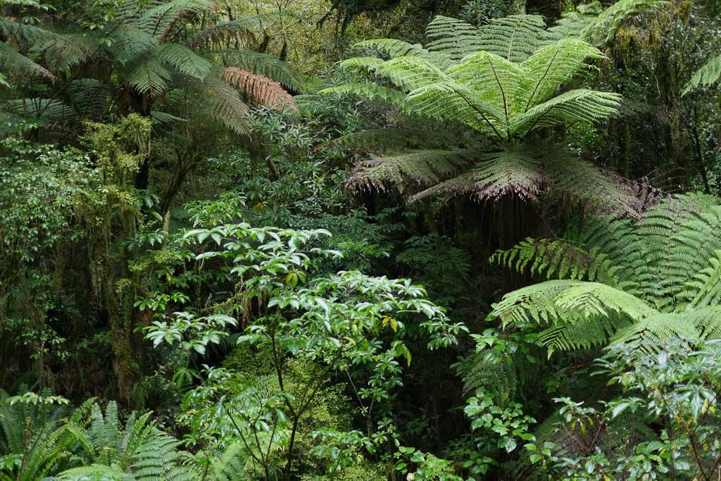 Regenwald des Fiordland Nationalpark mit Baumfarnen.