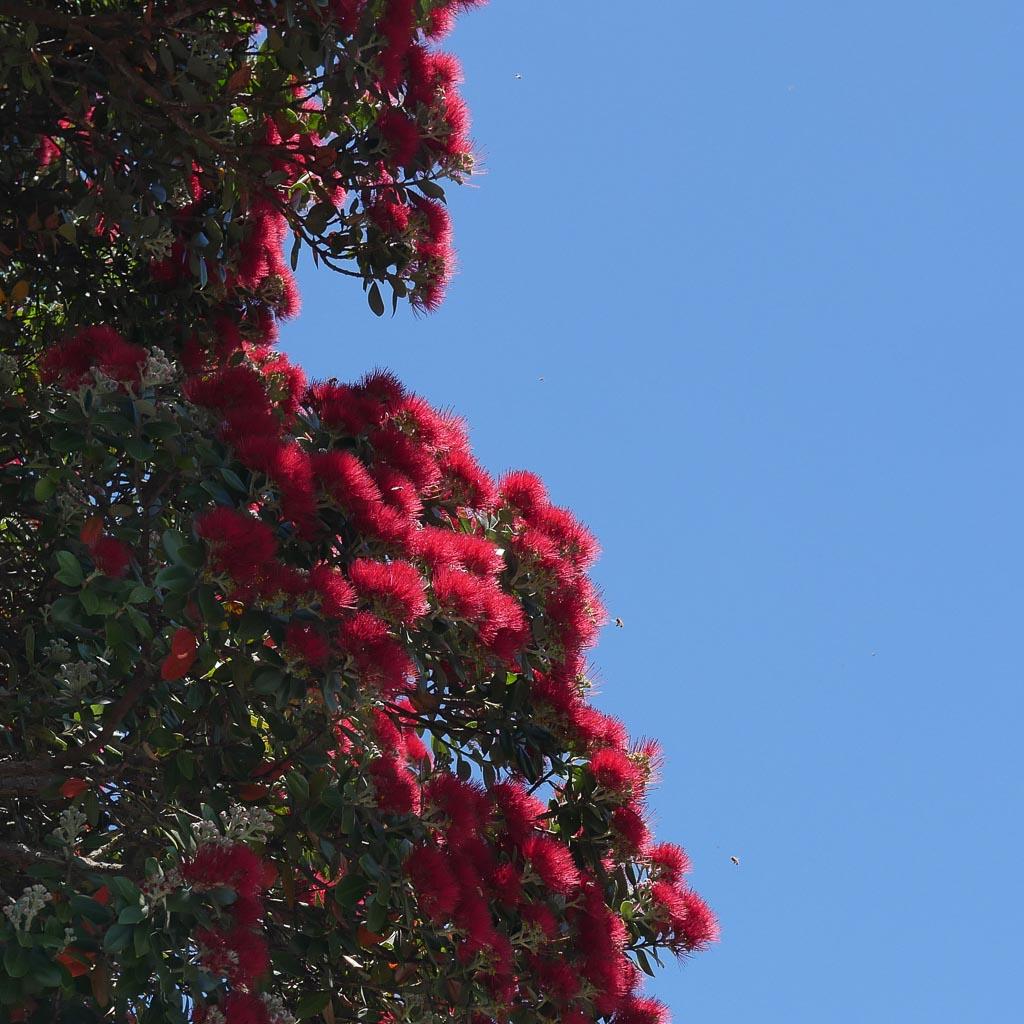Blauer Himmel und rote Blüten an der Bay of Islands. Bienen fliegen an die roten, federartigen Blüten des Pohutukawa Baumes.