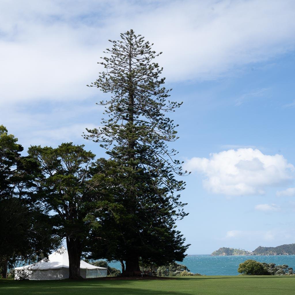 Im Zentrum des Bildes steht eine hochaufragende Fichte mit unregelmäßig gewachsenen Ästen. Im Hintergrund die bewegte Küstenlinie der Bay of Islands.