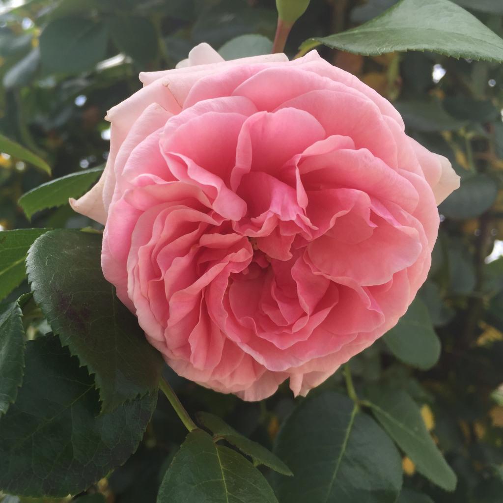 Eine Rose, Sorte Giardina, aus der Nahansicht. Zart und üppig präsentiert sich die Blüte mit den rosa Blütenblättern. Gesehen auf der Buga Heilbronn 2019.