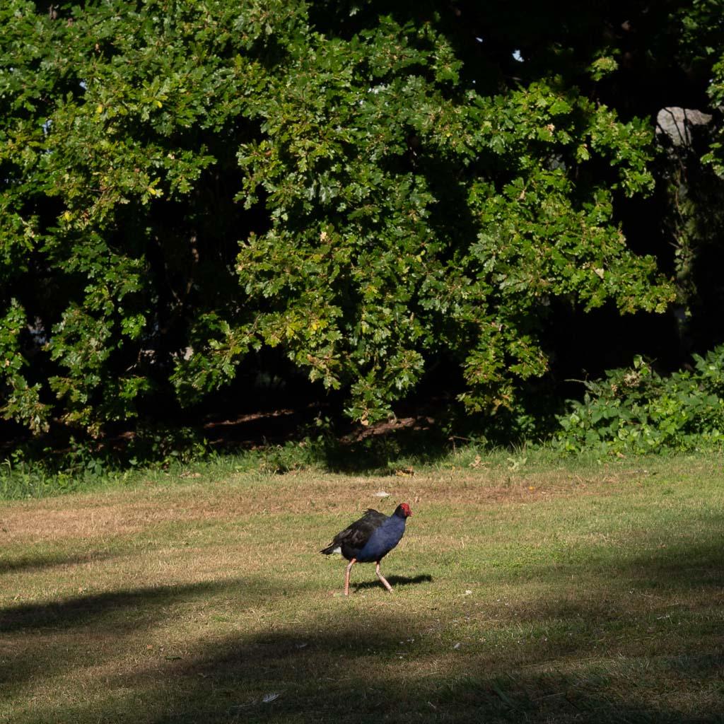 Das Bild zeigt die Government Gardens in Rotorua. Im Hintergrund eine dicht, buschige Hecke. auf dem grünen Rasen spaziert ein bunter Pukeko Vogel.