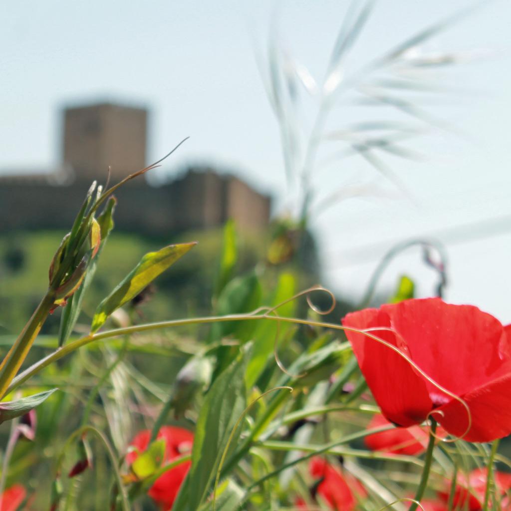 Rote Mohn Blumen, aufgenommen beim Wandern im Alentejo. Im Hintergrund erhebt sich verschwommen die Festung von Belver