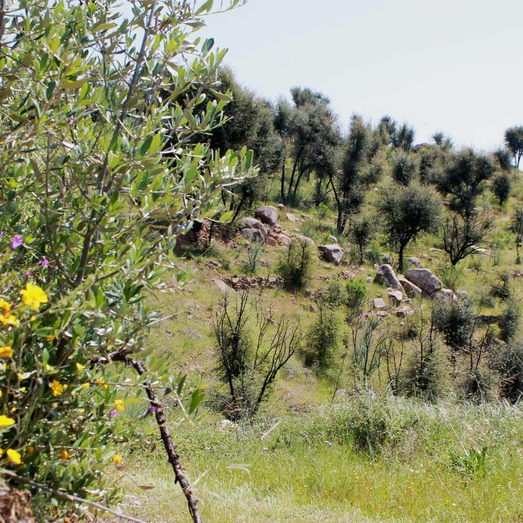Landschaft mit jungen Pinien, Blumenwiesen, ein paar Felsbrocken