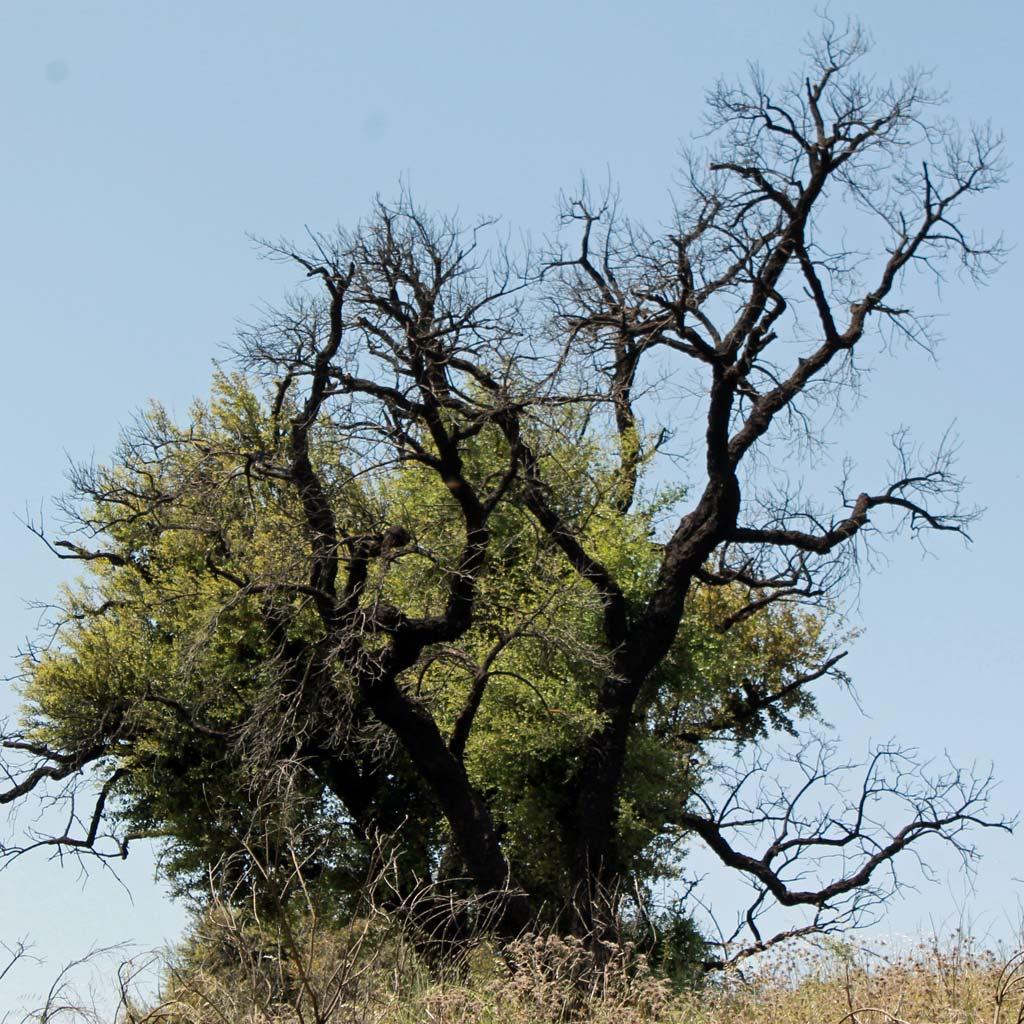 Mächtige Korkeiche mit vom Brand schwarz verfärbten, kahlen Ästen. Dazwischen treiben junge Zweige mit frischem Grün.