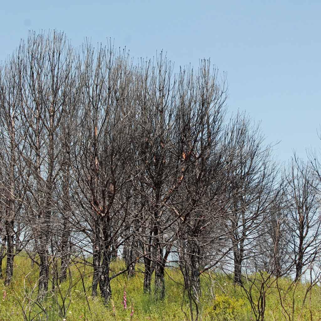 Kahle, von einem vergangenen Waldbrand zurückgelassene Eukalyptusbäume auf einer grünen Wiese