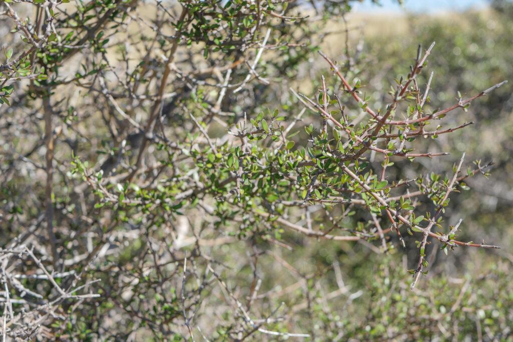 Matagouri einzige endemische Pflanze Neuseelands mit Stacheln.