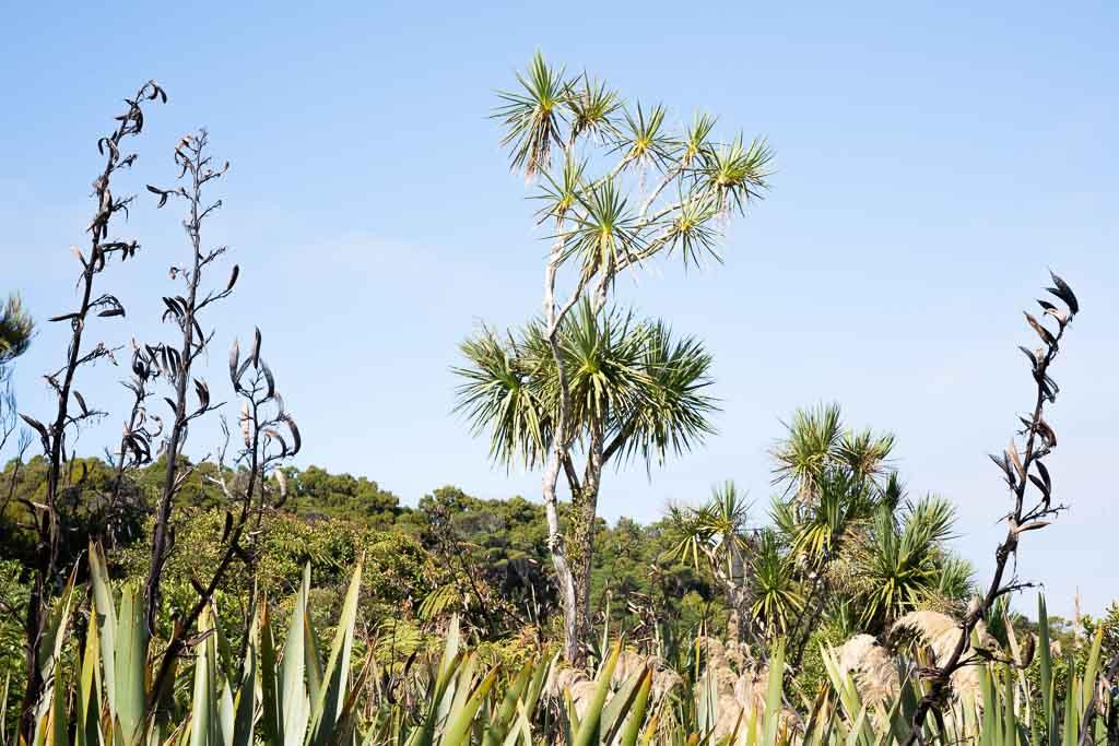 Cabbage Tree typische Pflanze an der Küste Neuseelands.
