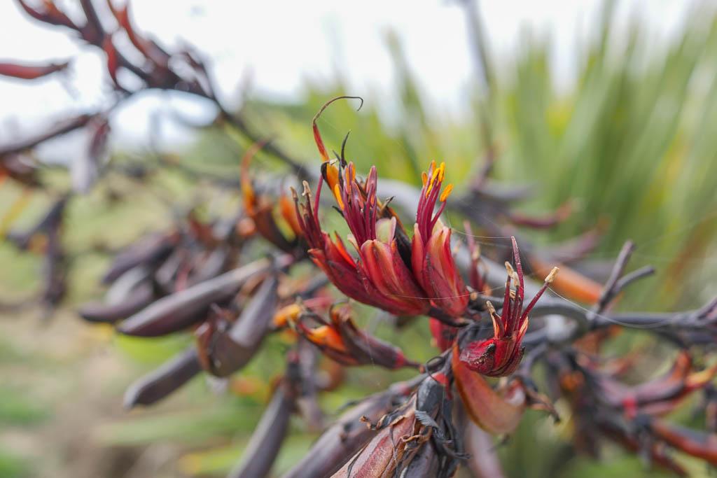 Blüte des Neuseelandflach oder der Harakeke Pflanze.