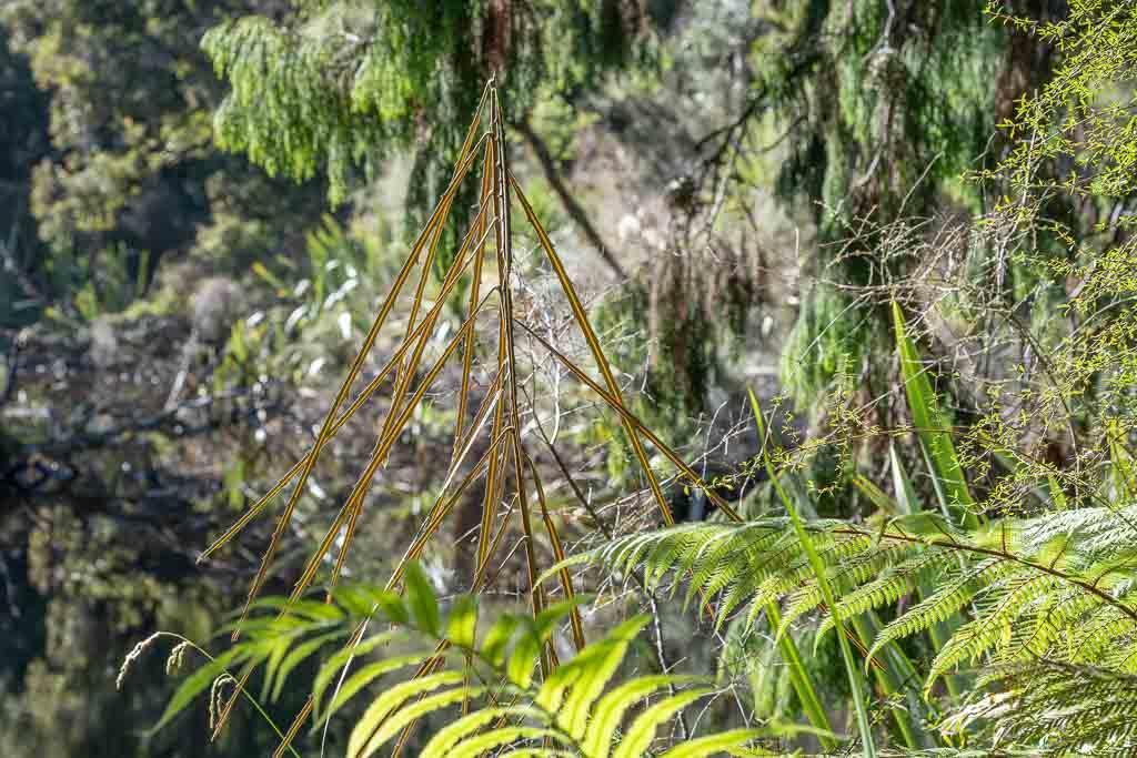 Jugendliche Pflanze eines Lancewoods im Unterholz.